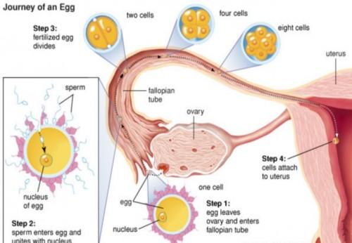 quá trình thai vào tử cung