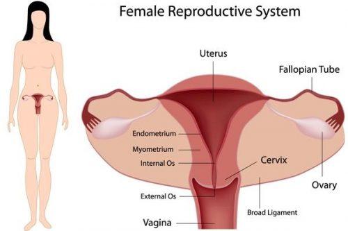 Hệ thống cơ quan sinh sản của phụ nữ, trong đó niệm mạc tử cung đóng vai trò quan trọng