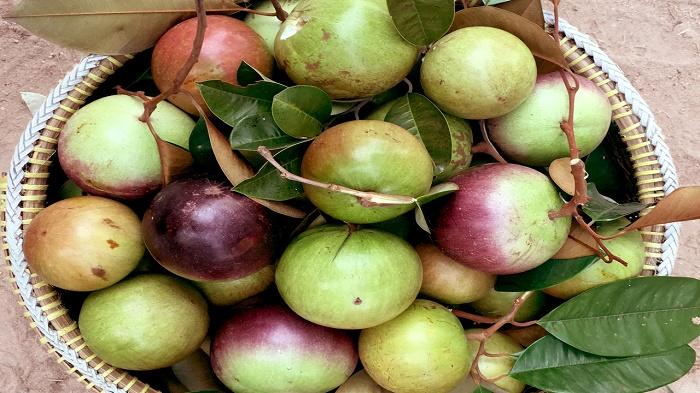 Chọn mua được vú sữa tươi sẽ quyết định nhiều đến chất lượng thơm ngon của loại trái cây này.