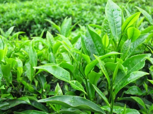 Đun nước lá chè xanh để vệ sinh vùng kín giúp hạn chế viêm nhiễm