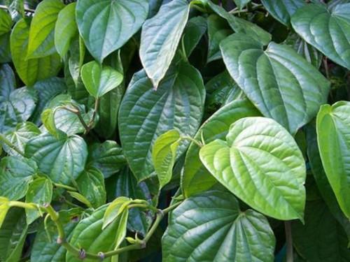Chỉ cần dùng một năm lá trầu không đun sôi với nước rồi xông rửa vùng kín hàng ngày có thể giúp ngừa viêm âm đạo