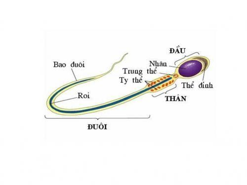 Cấu tạo của tinh trùng gồm 3 phần: đầu, cổ và đuôi