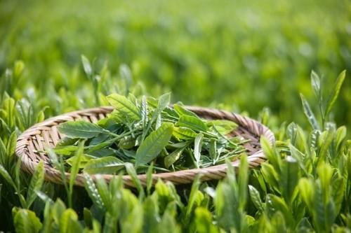 Từ nhiều thế kỷ qua, trà xanh đã được biết đến là một loại thảo mộc rất tốt cho sức khỏe, trong đó có tác dụng lợi tiểu. Trong trà xanh có thành phần kháng sinh tự nhiên giúp ngừa viêm nhiễm đường tiết niệu hiệu quả.