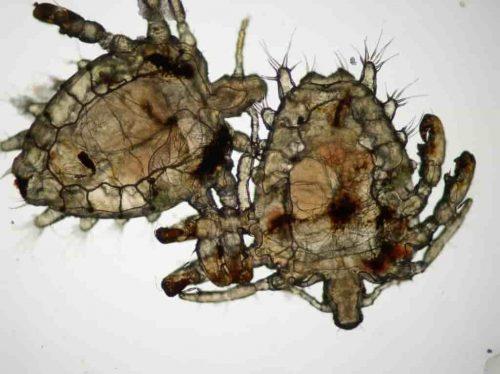 Rận mu tên khoa học Pthirus pubis - đây là một loại côn trùng ký sinh chủ yếu là ở vùng lông mu của con người