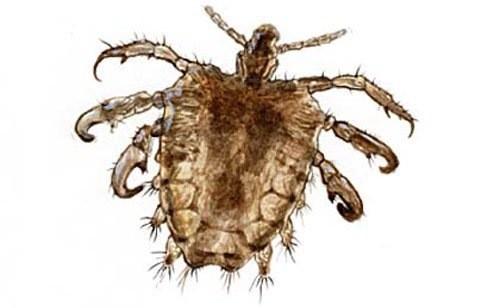 Rận mu dài 1-3mm, 6 chân, màu vàng hung có khả năng đổi màu trên da